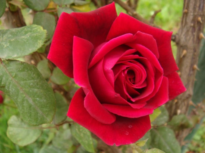 Rose for wordpress