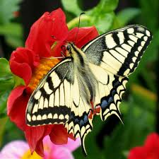File:Fesoj - Papilio machaon (by).jpg - Wikipedia
